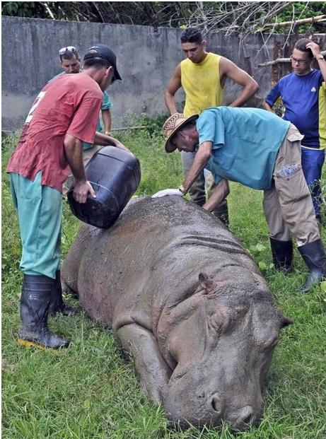 Hidratación del hipopótamo antes de su traslado al Zoológico de Santiago de Cuba (Foto: Jose M. Correa)