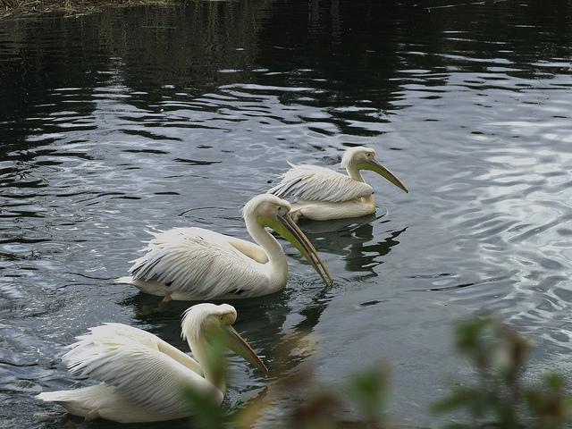 Pelícanos blancos. Foto en Flickr del usuario  jacinta lluch valero (CC BY-SA 2.0).