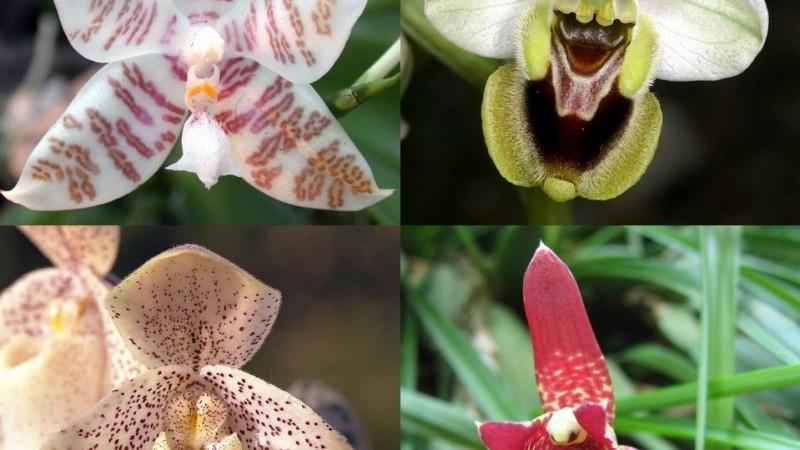Variedades de orquídea.
