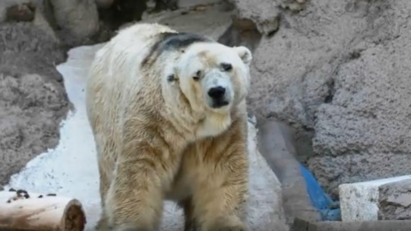 """El que fuera conocido como """"el oso más triste del mundo"""" falleció en Mendoza y dejó consigo indignación y reflexiones que cuestionan el mantenimiento de animales en cautiverio. Captura de pantalla del video compartido en YouTube por el canal """"Noticias importantes y no tanto""""."""