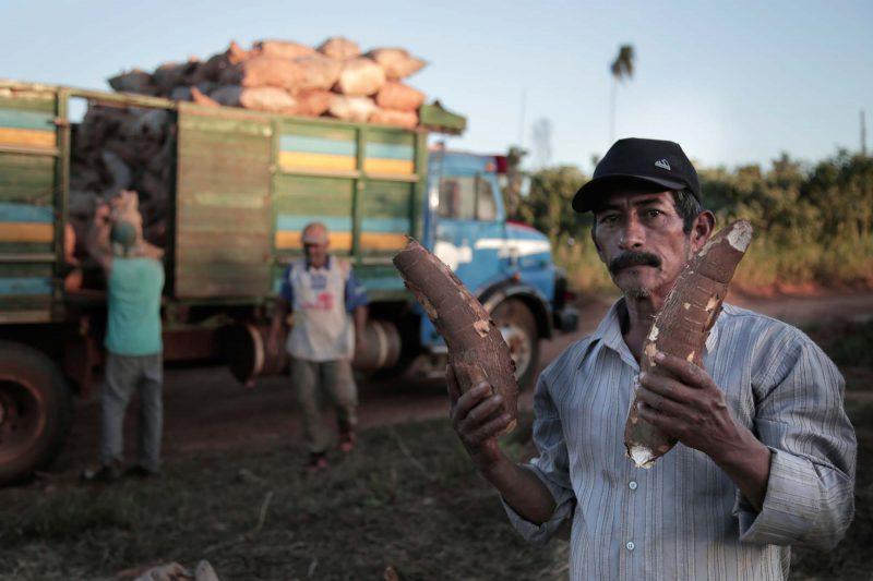 Rien qu'au Paraguay, il existe 700 ou 800 variétés de manioc cultivées sur quelque 180.000 hectares. Chaque année, 6 millions de tonnes sont produites. Photo de Juana Barreto, utilisée avec l'accord de Kurtural.