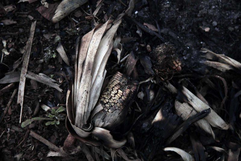 A Primero de Marzo, on cultive trois types de maïs : <em>morotí, tupí</em> et <em>chipá</em>, mais les paysans se plaignent qu'il n'y ait aucun marché où ils pourraient vendre leur production. Photographie de Juana Barreto. Utilisée avec l'autorisation de Kurtural.