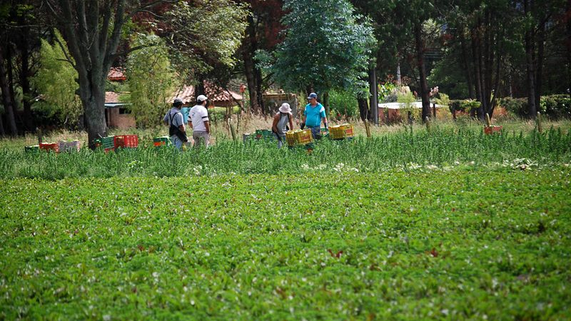 Des personnes ramassent des légumes dans un grand plant.